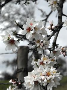 Flor de Amendoeira2